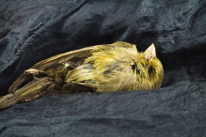 Richmond is the Canary in Canada - found dead in the 'coal mines' of Richmond